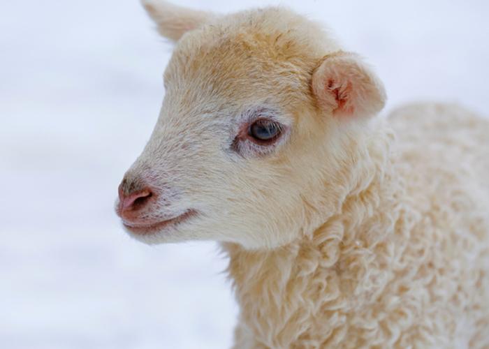 Ferme de mouton à Chambéry - La Ferme des Belines